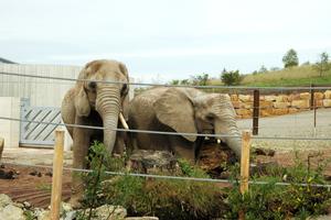 Sie fühlen sich in der neu gestalteten Elefantenanlage richtig wohl: Die Elefantenkühe Safari und Chupa.