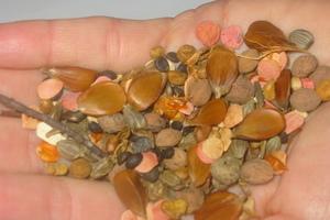 Mischung aus verschiedenen Baum- und Strauchsamen zur Aussaat bereit. Gut zu erkennen sind die großen, dreikantigen Samen der Buche (Fagus sylvatica)